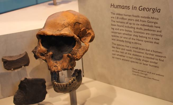 Photo of skull from Humans in Georgia.  Display found in the Natural History Museum in London